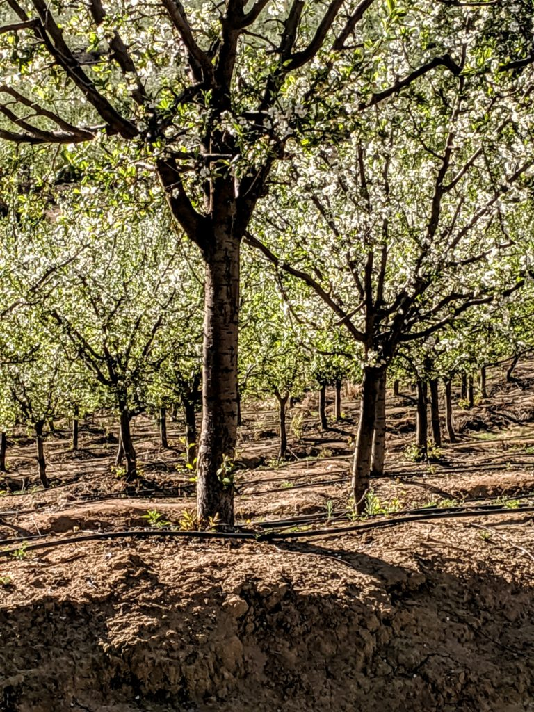 Prune Orchard 1