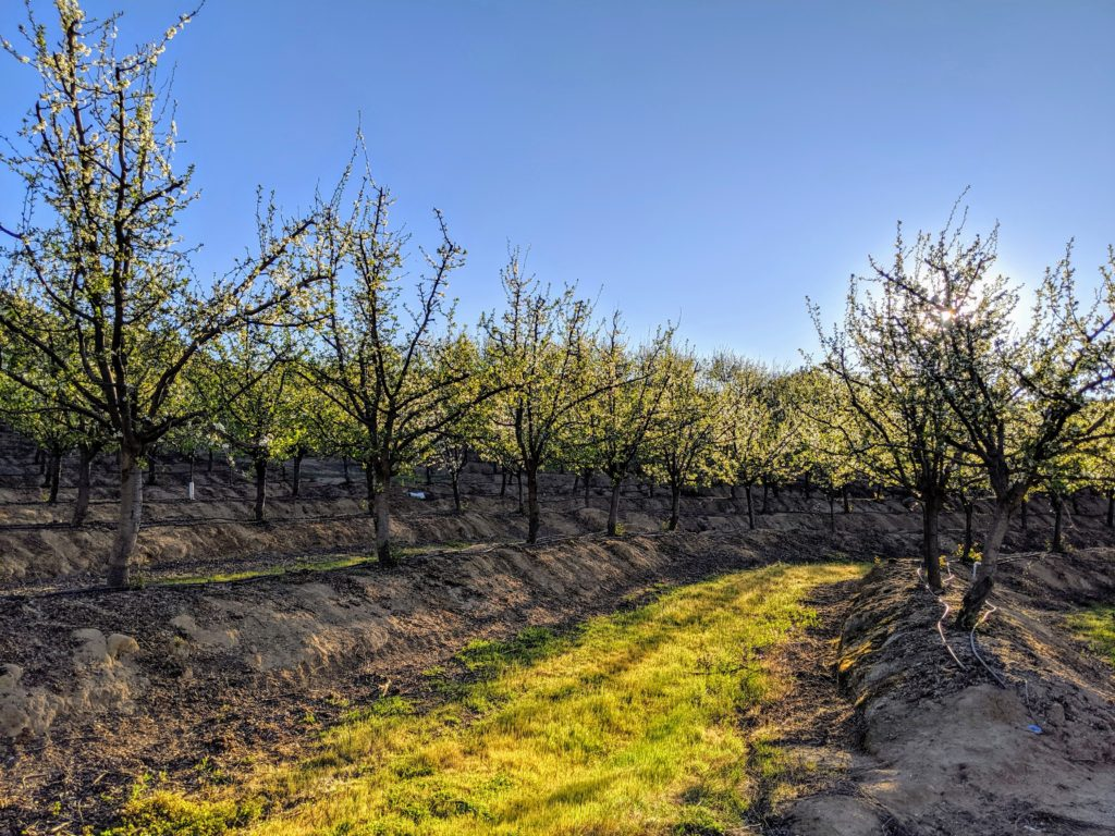Prune Orchard 2