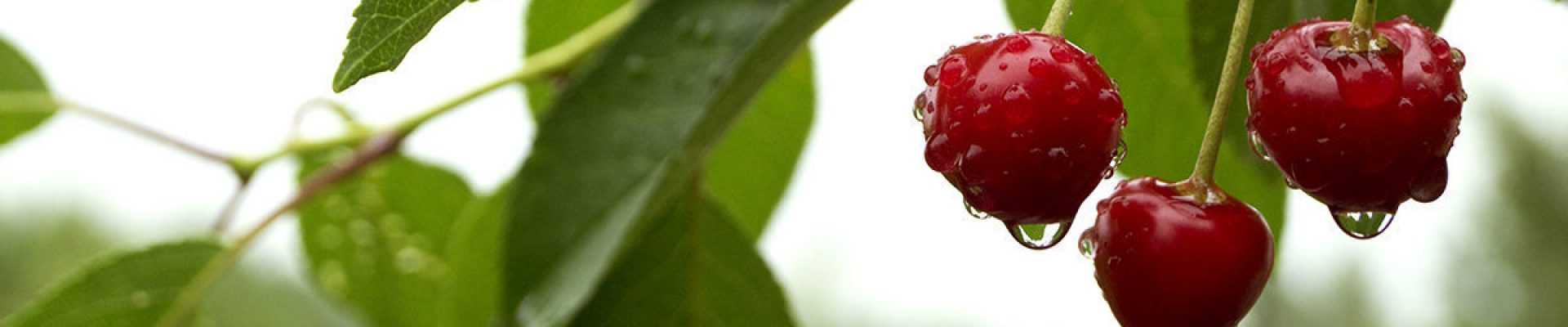 Ripe cherries in the raindrops. blurred background.